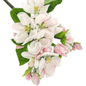 Aroma Apple Blossom 30 ml